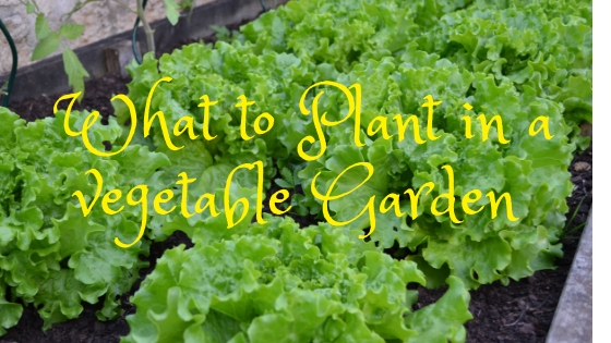 What to plant in a vegetable garden